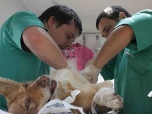 sterilizarea cainilor